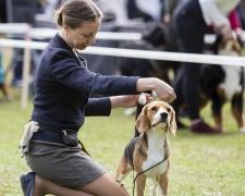 incanto-beagle-1