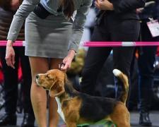 incanto-beagle-2